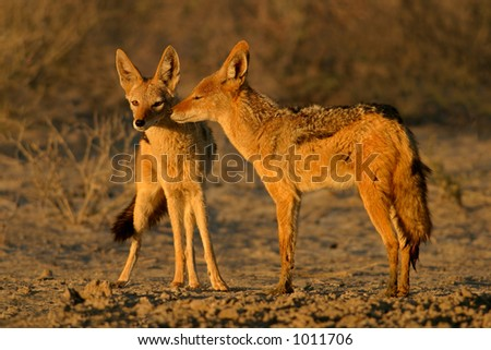 Interaction between two Black-backed Jackals (Canis mesomelas), Kalahari, South Africa