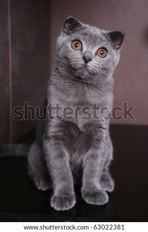 Interest of a nice British cat - stock photo