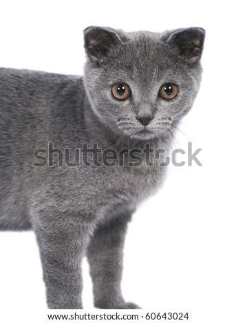 Interest of a nice British cat on a white background