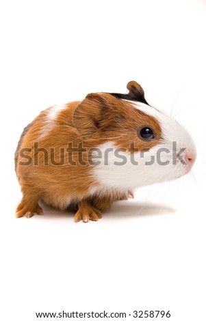 Interested guinea-pig looking aside