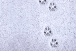 Interesting abstract white background with footprints of a cat or dog paws on the snow. Care for pets in the winter, in cold weather.