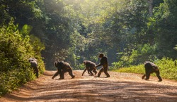 Interesting animal behavior, with a male chimpanzee walking upright, like a human, across a dirt road. The other four chimps are moving in the usual way, with knuckles to the ground. Uganda.