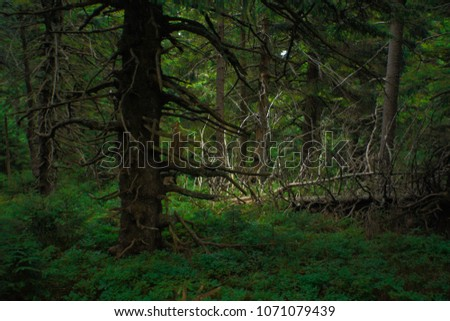 interesting green moody spruce forest landscape #1071079439