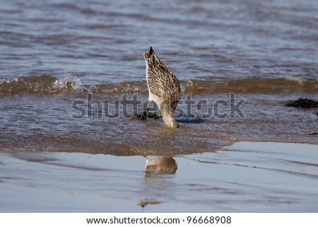 Interesting picture of a sea bird, his head half buried in the sand,chasing worms during low tide on a beach of Northern Portugal