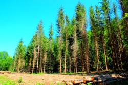 Interesting scene near Gerosa Lake with a forest of rough and tall trees and some cut logs lying on the scorched ground under a comforting shade with an intense blue cloudless sky above