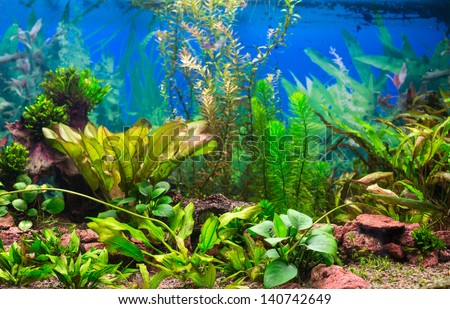 Interior aquarium. A green plant tropical freshwater aquarium