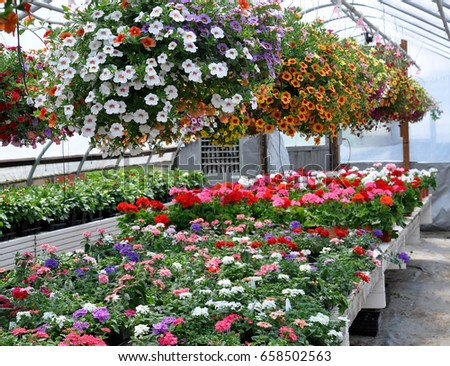 Interior of a Greenhouse full of Summer Annuals and Hanging Flower Baskets. Very Colorful and Lush! #658502563