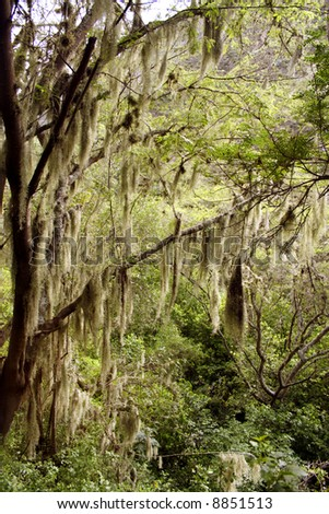 Interior of cloudforest with spanish moss Tillandsis usneoides