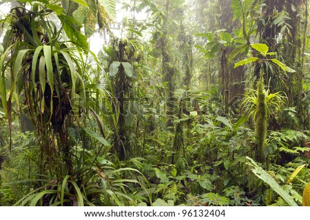 Interior of humid cloudforest with mist blowing through, on the coastal range in western Ecuador