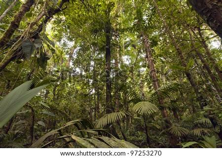 Interior of lowland topical rainforest in the Ecuadorian Amazon