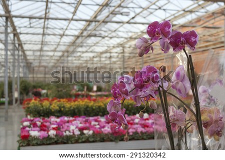 Interior of shop for greenhouse cultivation and sale of indoor flowers with purple orchid on foreground