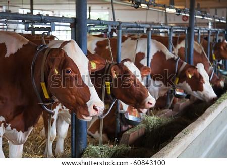 Interior of the modern swiss cow farm