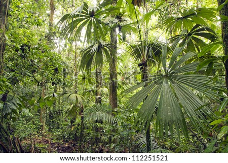 Interior of tropical rainforest in Yasuni National Park, Ecuador with palm tree in foreground