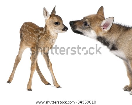 interplay between roe deer Fawn (15 days old) and Eurasian Wolf (40 days old) in front of a white background