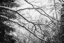 Intertwined snow-covered tree branches in black and white