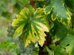Interveinal chlorosis caused by iron or nitrogen deficiency on a grape vine with grapes. Agriculture, viticulture problem.