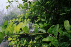 Intricately weaved cobweb (spiderweb) between leaves, Delicate strands - close up