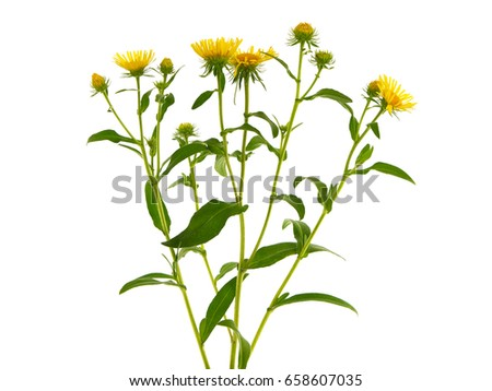 Inula britannica, known as the British yellowhead or meadow fleabane