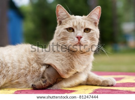 Invalid cat with amputated paw - stock photo