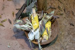 invasion of locusts, locusts eating corn crop-devouring insect
