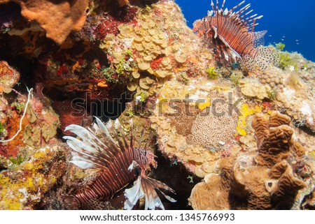 Invasive red lionfish on the reef s of Grand Cayman in the Caribbean. These predators are destroying the ecosystem by over populating the reef and eating indigenous fish stocks #1345766993
