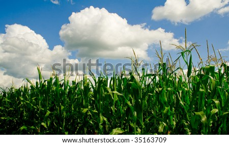 Iowa Corn Field on a Sunny Summer Day