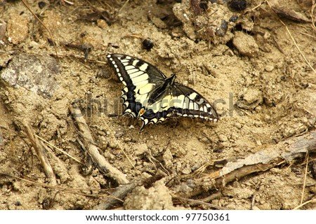 Iphiclides podalirius, beautiful butterfly standing on dry land