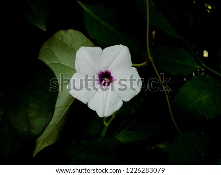 Ipomoea alba, sometimes called the tropical white morning-glory or moonflowerg)g or moon vine, is a species of night-blooming morning glory.