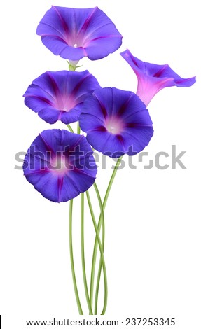 Ipomoea blue, glory morning flowers #237253345
