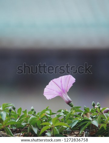 Ipomoea cairica is a species of morning glory which has many common names, including mile-a-minute vine, Messina creeper, Cairo morning glory, coast morning glory and railroad creeper