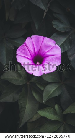 Ipomoea cairica is a species of morning glory which has many common names, including mile-a-minute vine, Messina creeper, Cairo morning glory, 16:9 mobile phone wallpaper