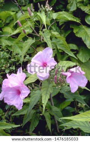 Ipomoea fistulosa (I. crassicaulis) - Bush Morning Glory #1476185033