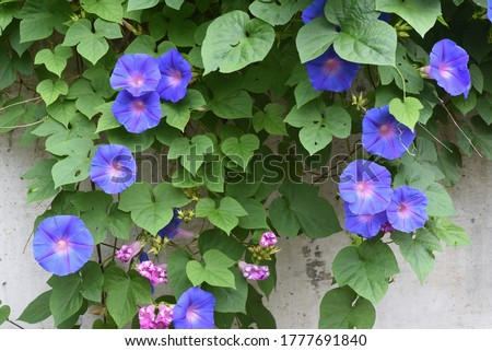 Ipomoea indica is a species of flowering plant in the family Convolvulaceae, known by several common names, including Blue morning glory, Oceanblue morning glory, Koali awa, and Blue dawn flower. Stockfoto ©