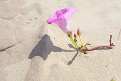Ipomoea pes-caprae, beach morning glory or goat's foot vine growing on the beach, coastline of Southern Africa. Beautiful soft, pastel pink flower among the sand dunes on a warm summer's day.