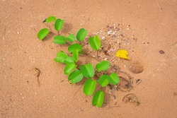 Ipomoea pes-caprae (Goat's foot creeper, Beach morning glory) growth on the sand beach