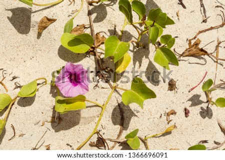Ipomoea Purple Convolvulus Flower on a sandy tropical beach. Top view texture of beach morning glory