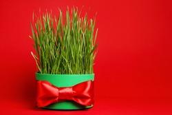 Iranian new year. Wheat grass for Novruz celebration greeting card. Copy space. Persian, Azerbaijani Nowruz