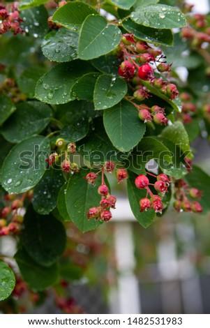 irgi tree, blue berries, raindrops #1482531983