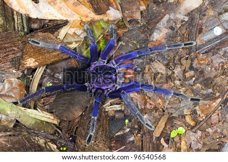 Iridescent blue tarantula in tropical rainforest on the Pacific coast of Ecuador #96540568