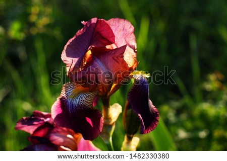 Iris bearded, flowers of iris in the garden, bearded irises wonderful flower, flower irises