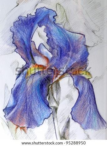 IRIS color pencil ART DRAWING