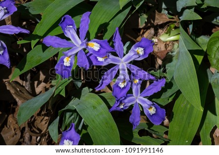 Iris cristata known as dwarf crested iris in bloom. It is a rhizomatous perennial plant endemic to the eastern USA. It has pale lavender to blue flowers with a white patch and orange or yellow crest.