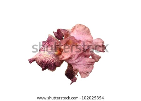 iris flower pink and purple on white background
