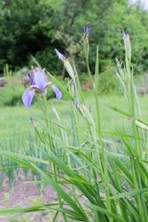 iris flowers, a beautiful spring flower