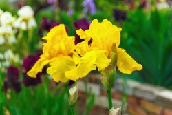 iris flowers, a beautiful spring flower bright color is different shades
