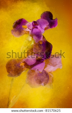 Iris flowers and yellow color powder paint explosion that creates motion and expressive look - stock photo