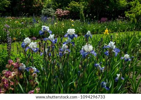 Iris flowers blooming in a spring garden