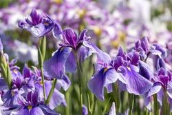 Iris, Horikiri Iris Garden, Katsushika-city, Tokyo, Japan