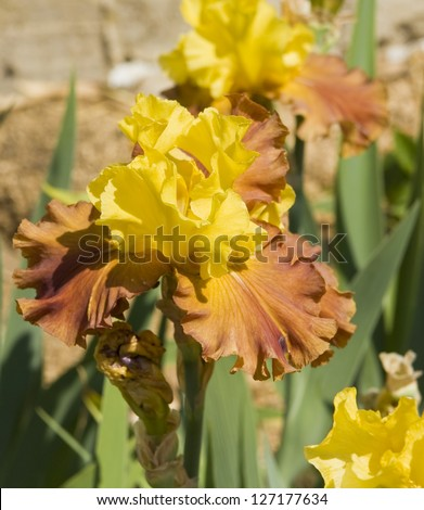 Iris in yellow and orange colours, sort Martile rowland, collection of Nikitskiy botanic garden in town Yalta region Crimea, Ukraine.
