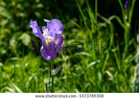 Iris is purple on a sunny day, with thick green grass.